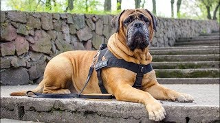4 you  Funniest Bullmastiff Videos #2
