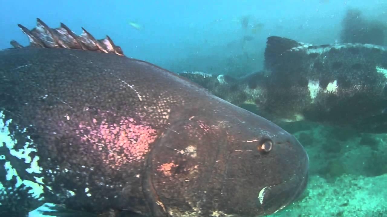 Giant Black Sea Bass - YouTube