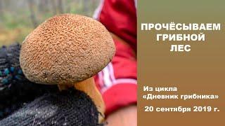 Прочёсываем грибной лес. Дневник грибника 20 сентября 2019 года.
