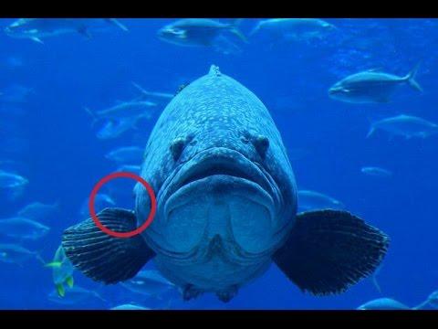 Impresionante atrapan pez mero de 120 kg en for Criaderos de pescados colombia