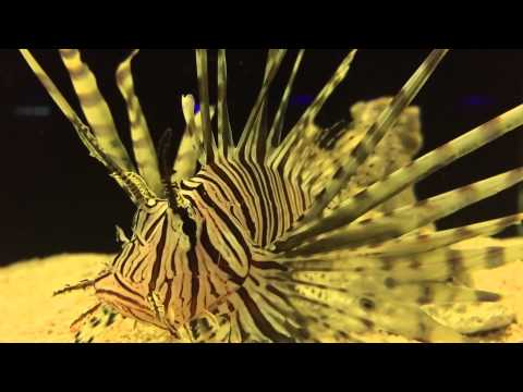 Keeping Lionfish