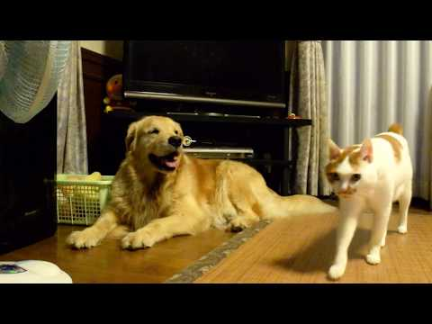 The golden retriever Alia and cat Lin in the evening!