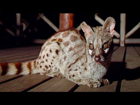 Wild Spotted Genet Visits our Lodge