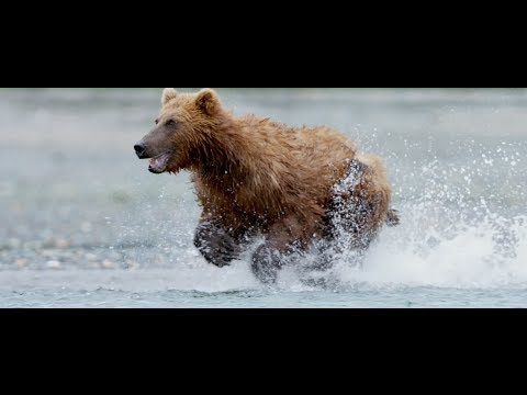 Disneynature's Bears - Now Playing In Theaters!