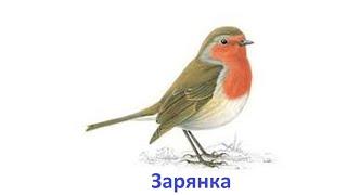 Пение птиц -  Зарянка