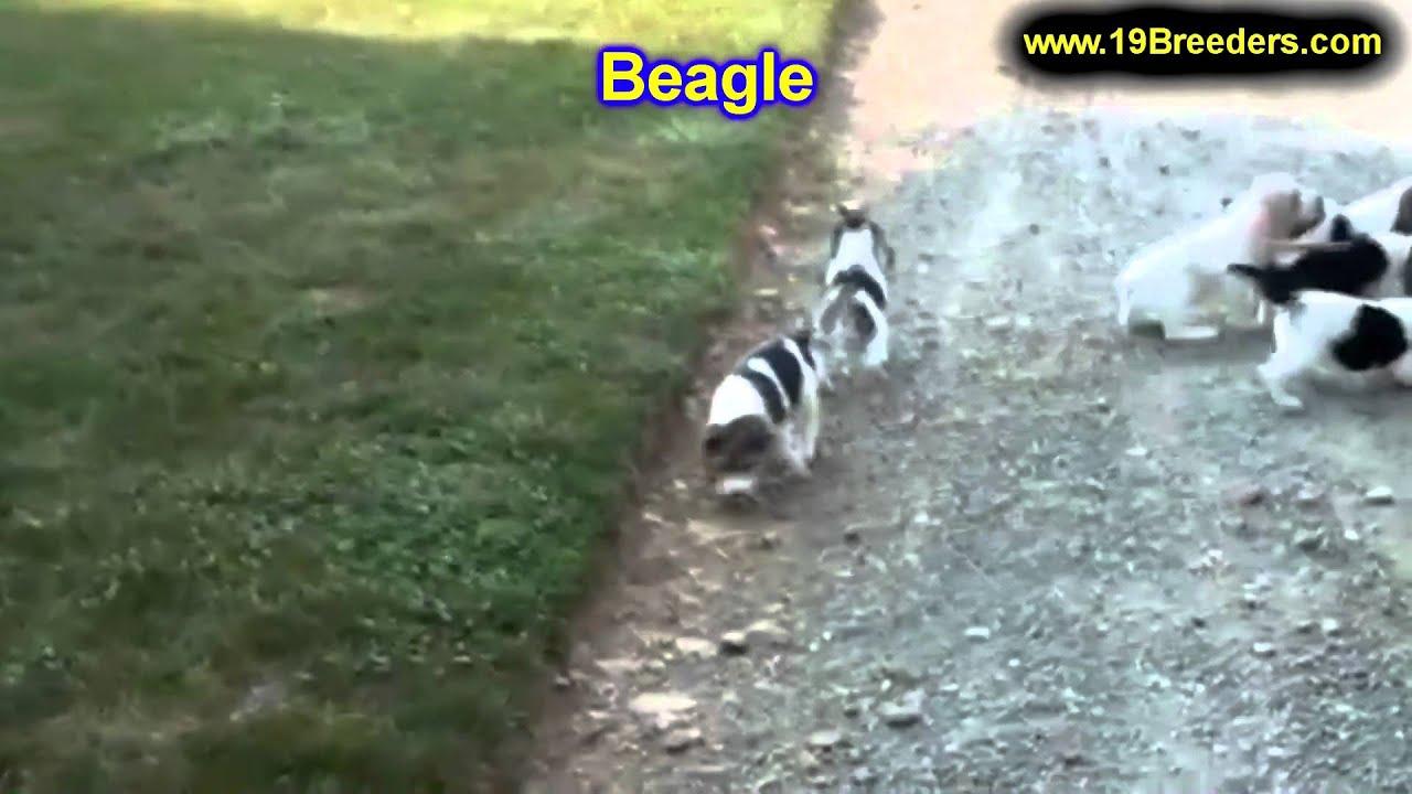 Beagle Puppies For Sale Au