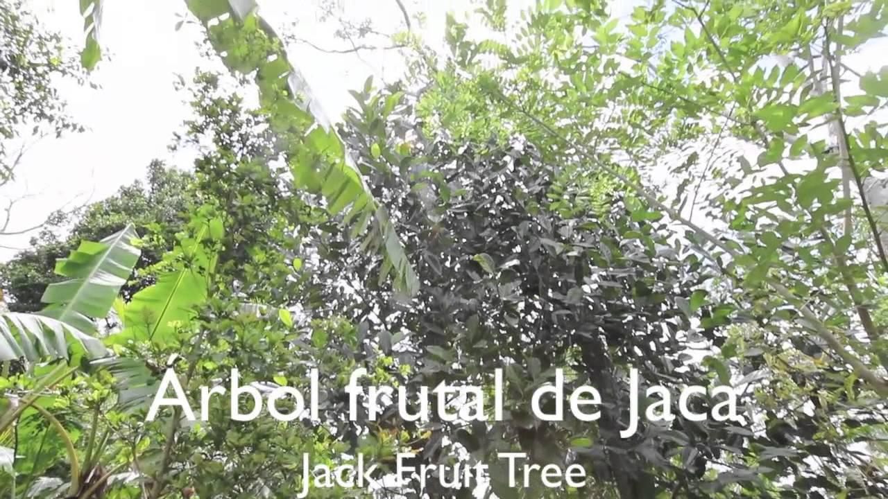 Fruta Milagrosa Y Rbol Frutal De Jaca Youtube