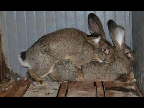 Невероятный  кроликов....