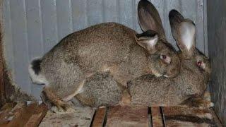 Невероятный  кроликов. Падение.