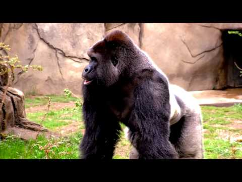 ROCKIE GOLD - Dicks out for Harambe (RAP / POP SONG)