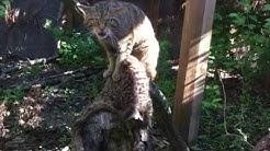 Rare Scottish wildcat kitten at Chester Zoo