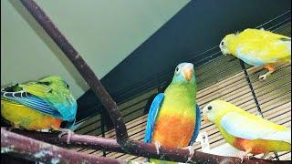 Разведение травяных попугаев: какую клетку, какой домик, сколько яйц....