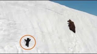 눈 절벽에서 미끄러진 새끼곰과 엄마곰