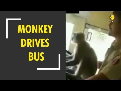 Otis - Monkey Drives Bus in India