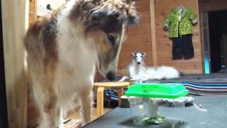 家に潜んでたネズミを捕獲!! ボルゾイ兄弟興味津々だけどビビってます...