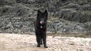 Tia Our Black Long Coat German Shepherd