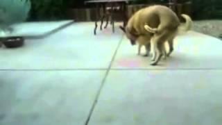 Dog rapes cat