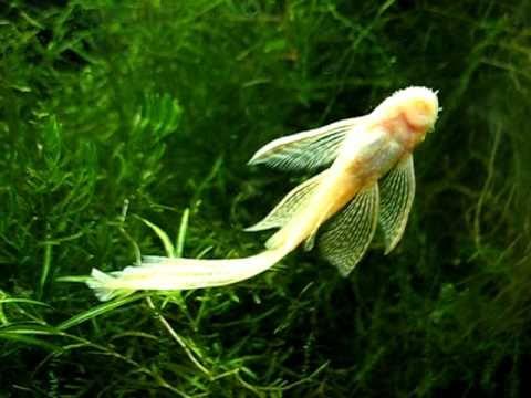 Albino longfin bristlenose pleco eating algae from aquarium side