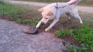 犬と土手を散歩中に、日光浴をしている亀に遭遇! 初めて亀を見た犬の反...