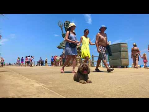 4-Year Old Havanese, Kash! Havanese Dog Training   Off Leash Havanese