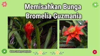 Memisahkan Bunga Bromelia Guzmania