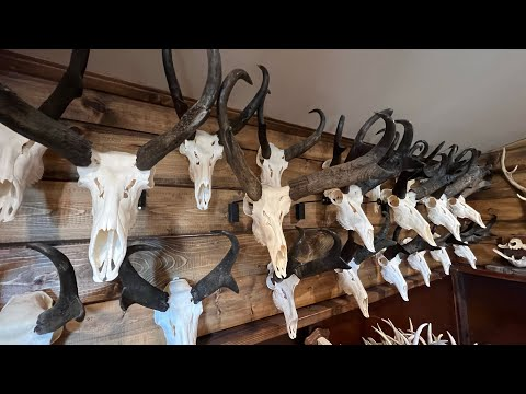 "HOW TO CLEAN A PRONGHORN ANTELOPE SKULL ""GRAPHIC"""