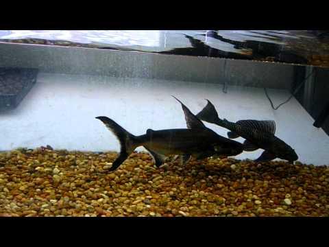 Paroon Shark Catfish YouTube