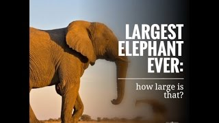 Largest elephant ever: how large is that?