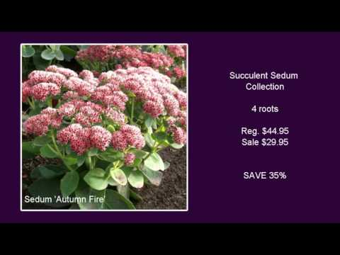 Succulent Sedum Collection