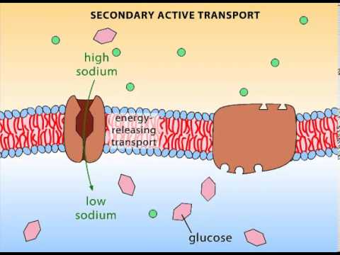 Secondary Active Transport - YouTube
