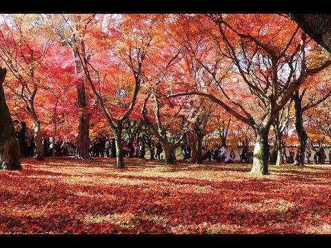 京都 紅葉名所NO.1Japan Kyoto red leaves 東福寺賞楓二 配樂:古箏名曲 1080P HD