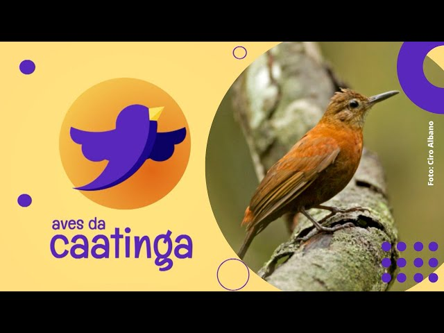AVES DA CAATINGA #11 - Vira-Folhas-Cearense (Sclerurus scansor)