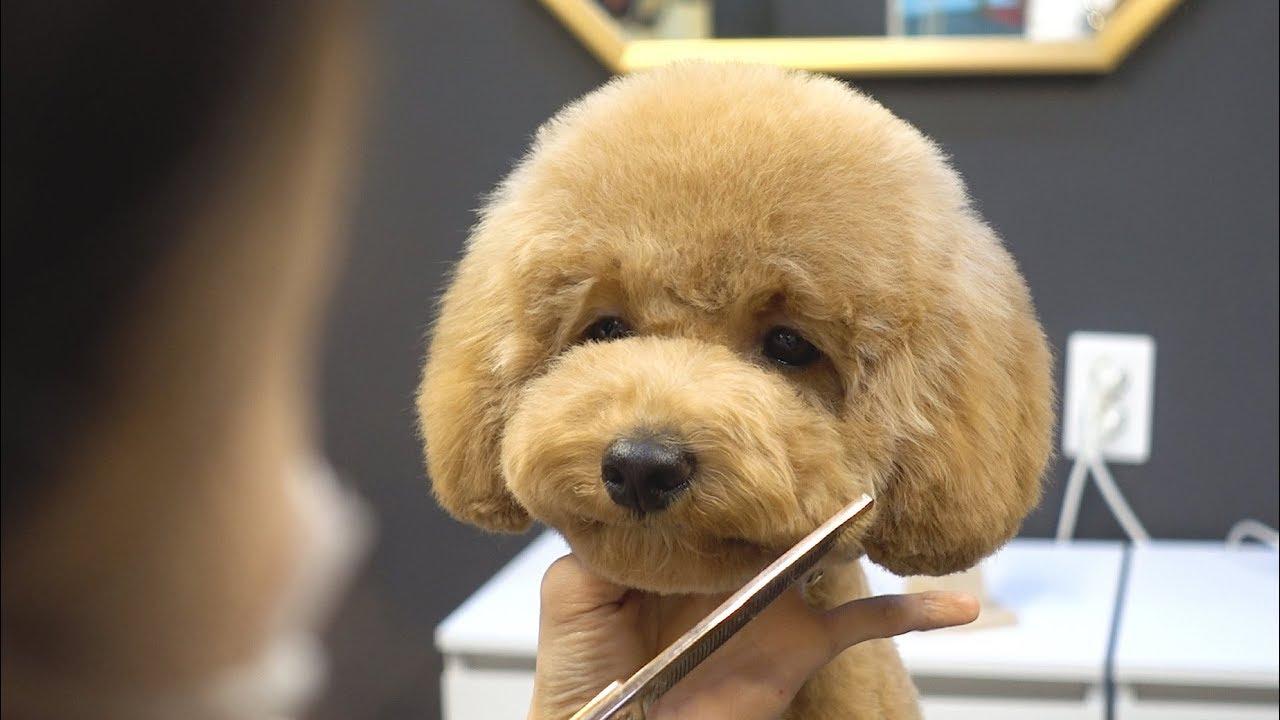 아기 푸들 배냇 첫미용 스포팅 귀툭튀 / dog pet baby poodle first grooming