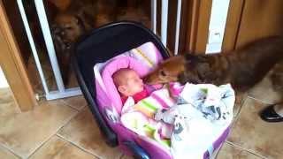 Dziecko i pies – powitanie w stadzie jamników.