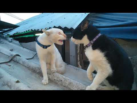 รุ่นใหญ่คุยกันไล่ก็ไม่เลิก แมวเจ้าถิ่นแมวทะเลาะกันเสียงดังแต่ไม่ได้กัดกัน 🐈🐈😊😊