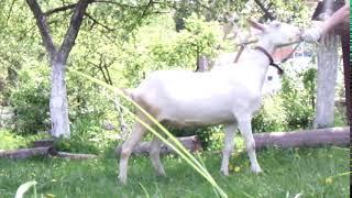 Классическая зааненская коза