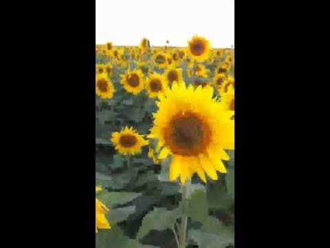Sun Flowers of North Dakota