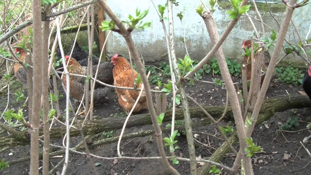 Kropfverstopfung beim Huhn, was tun? - YouTube