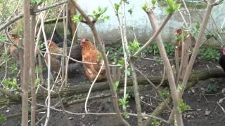Kropfverstopfung beim Huhn, was tun?