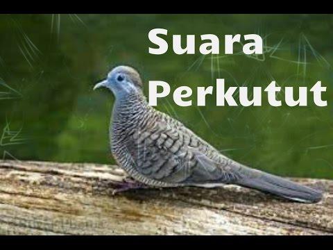 Suara Burung Perkutut