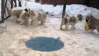 В нашем питомнике можно купить щенка Алабая 89263818274