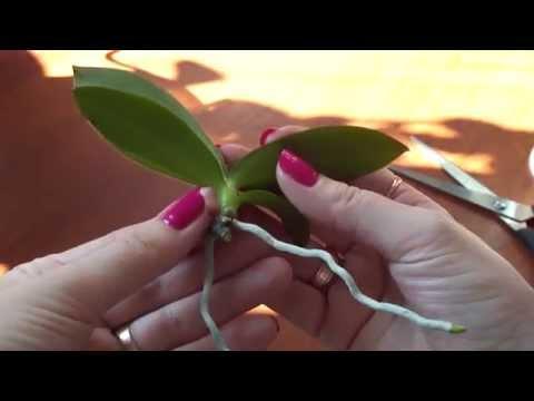 Отделяем детку от мамы. Как отделить детку от орхидеи ?
