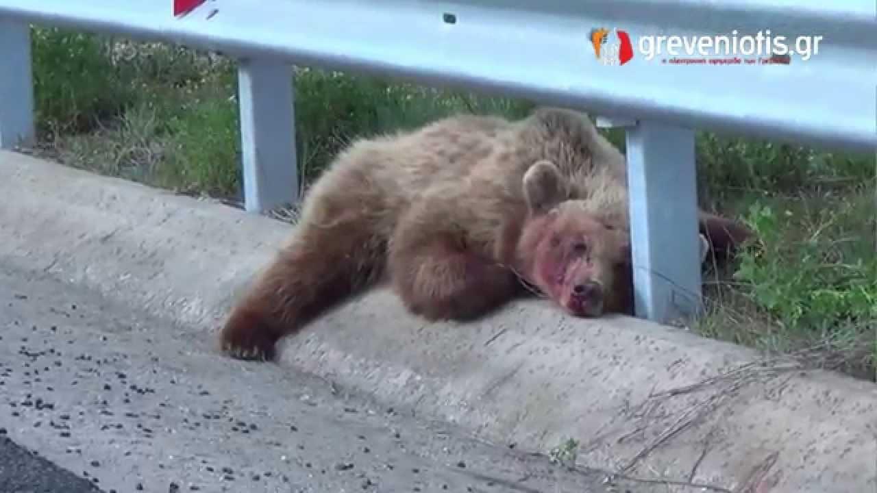 Βγαίνεις Με Μια Αρκούδα Kodiak Ανακυρτώ Τόξο collection.