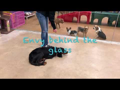 Gordon Setter, Murphy | Gordon Setter Dog Training | Off Leash Gordon Setter