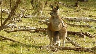 Кенгурёнок залезает в сумку кенгуру ( австралийский кенгуру, животное Австралии)