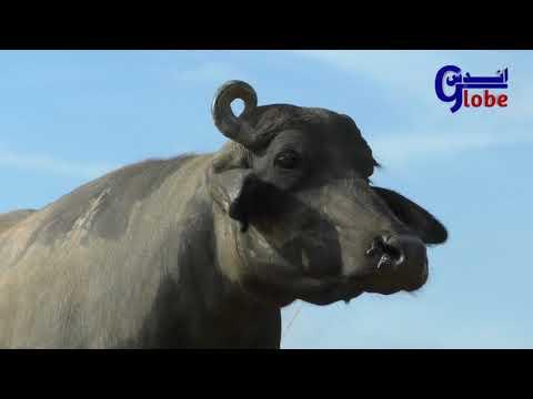 Banni Buffalo || Kundhi Beautiful buffalo New Videos|| pure Banni Buffaloes Of  || Sweet Buffaloes