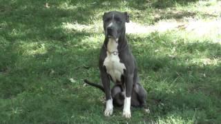 Guy Nashville Dog Trainer 080: Training A Pitt Bull