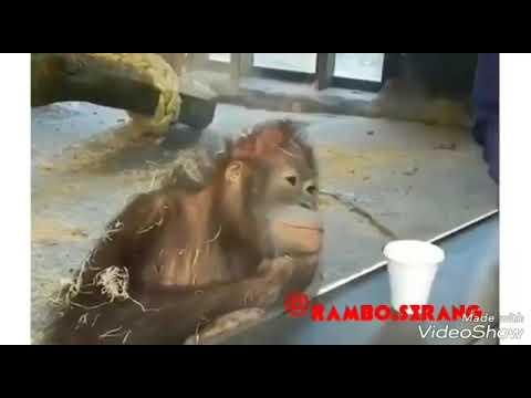 Kumpulan video rambo serang lucu banget, dubbing jawa serang kadal ijo