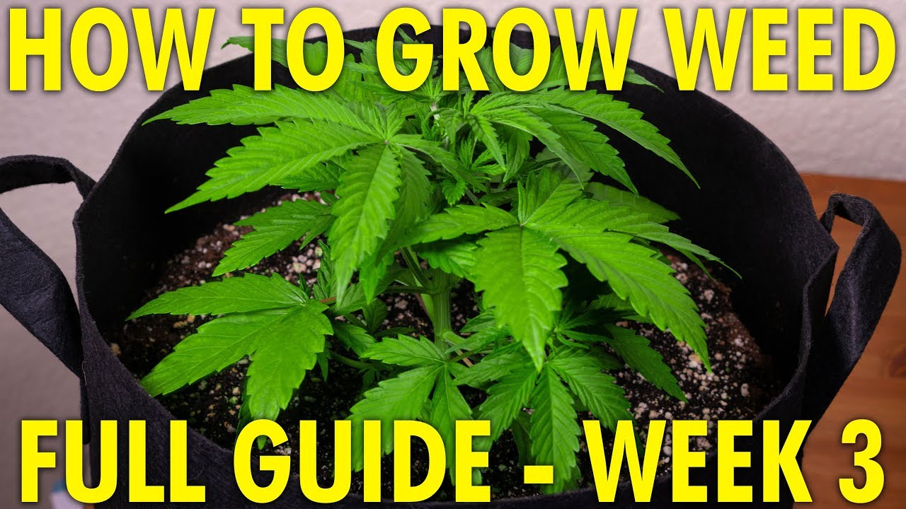 Cheese & Jack Herer Week 3 - Full Cannabis Grow Guide