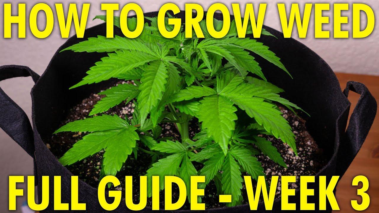 Cheese & Jack Herer Week 3 - Full Cannabis Grow Guide